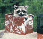 We can remove the Racoon and the babies from your chimney